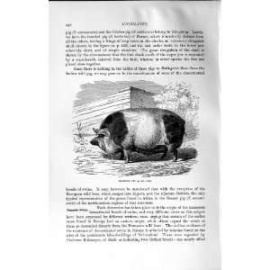 NATURAL HISTORY 1894 HARRISON PIG BARBATUS WILD ANIMAL