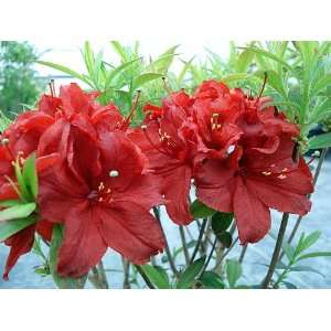 Deciduous Exbury Azalea Arneson Ruby   Very Hardy: Patio