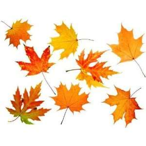 Autumn Maple leaf, Scope for a Postal on a White Background   Peel and