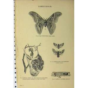 Bombycidae C1890 Silk Worm Moth Larvae Lime Tree Print: Home & Kitchen