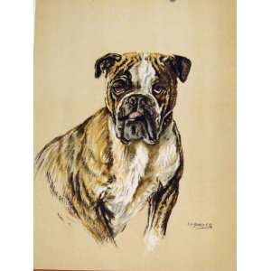 Bulldog Hound Dog Color Fine Art Sketch Drawing C1938