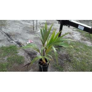 Palm Tree Tropical Live Plant 2 Feet + Tall Patio, Lawn & Garden