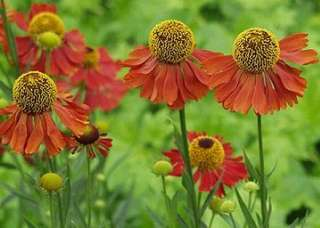 HELENS FLOWER Fabulous colors Perennial SEEDS