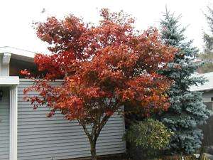 maple, RED JAPANESE MAPLE, or bonsai, 15 SEEDS! GroCo