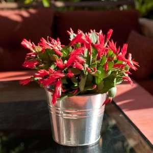 Christmas Cactus in Silver Tone Bucket  Beautiful Blooming Live Plant